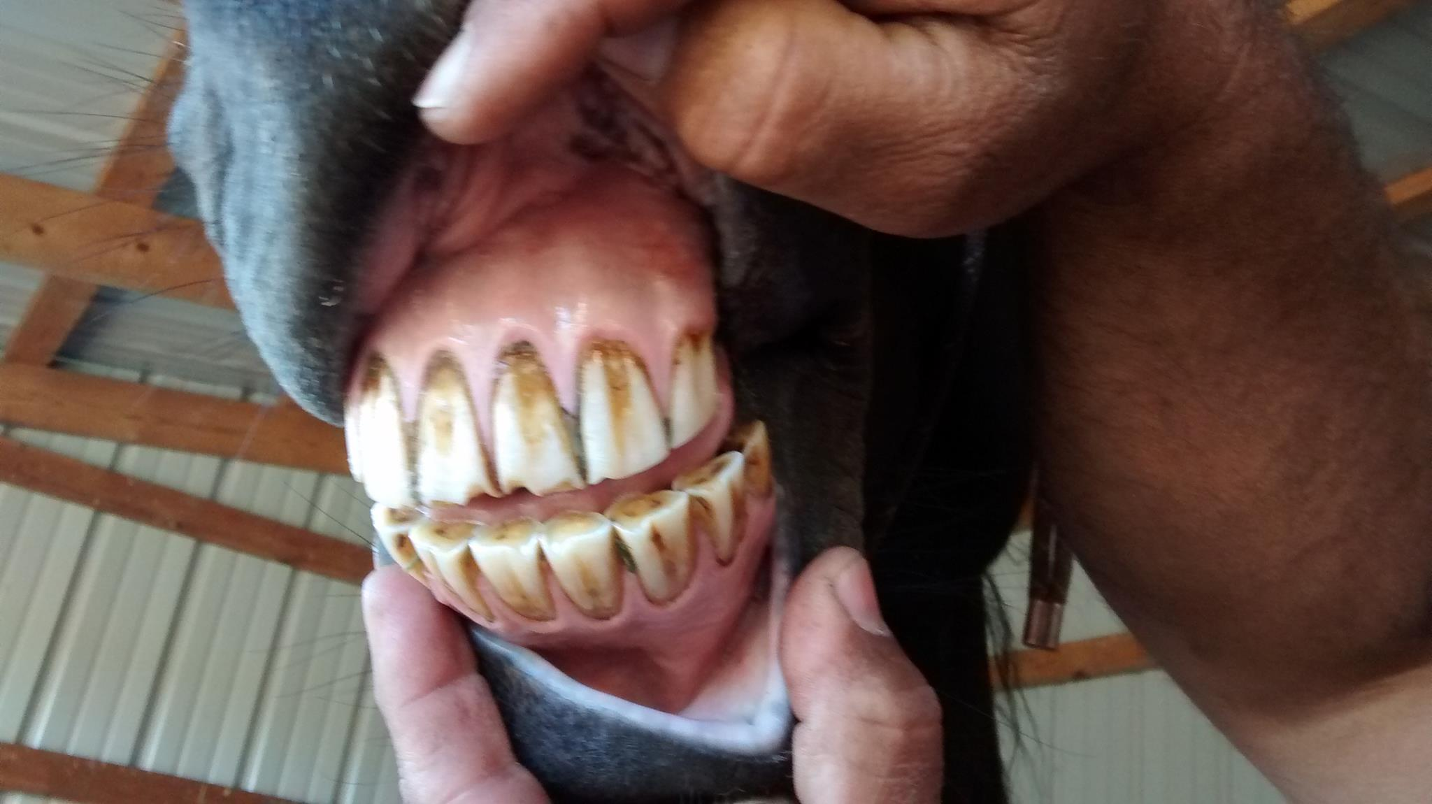 horse tooth wear from slow feeder