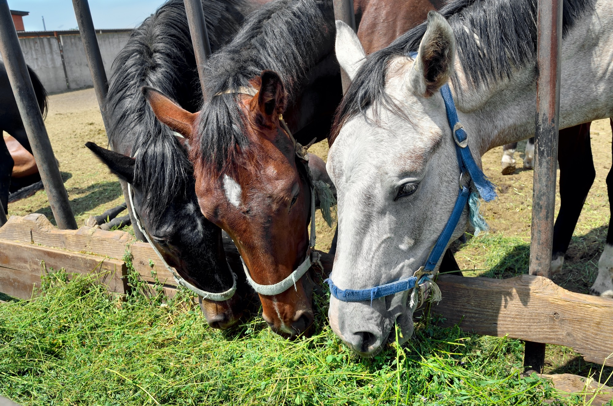 Horses without a slow feeder damaging their teeth on alfalfa