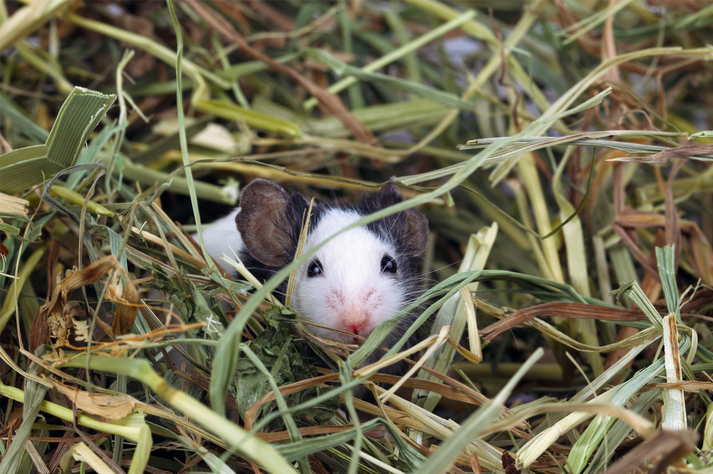 a mouse in hay